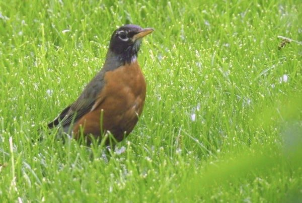 american robin standing in lawn grass
