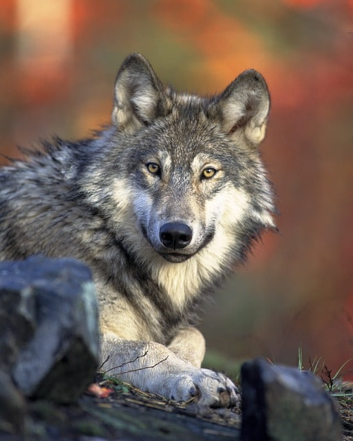 Wolf sitting on rock