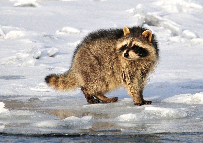 racoon in snow
