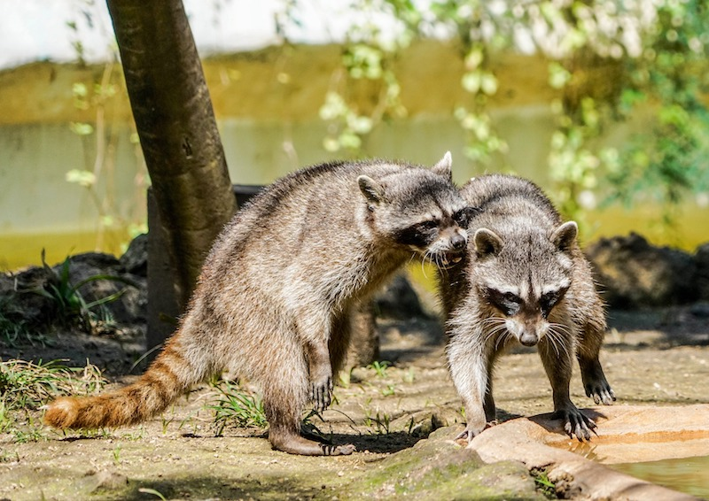 raccoons tussling next to an artificial pond